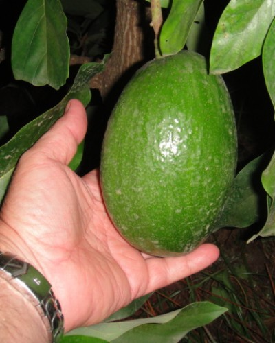 Four Pound Alvocado